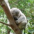 Animaux sauvages Koala_10