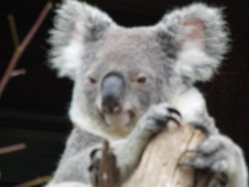 Animaux sauvages Koala_12