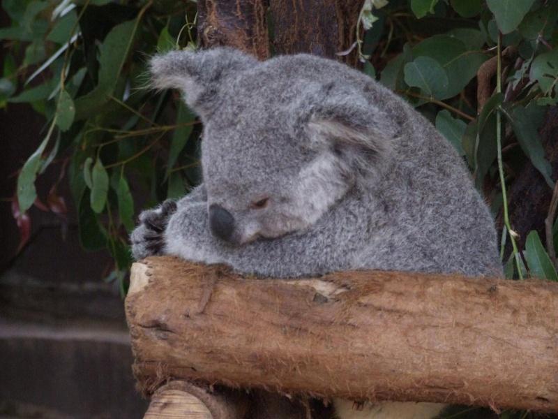 Animaux sauvages Koala_13