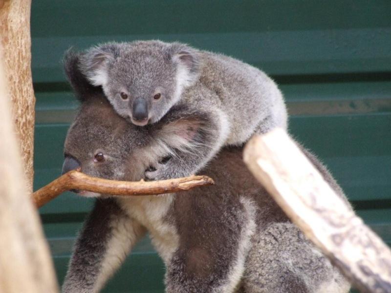 Animaux sauvages Koala_14