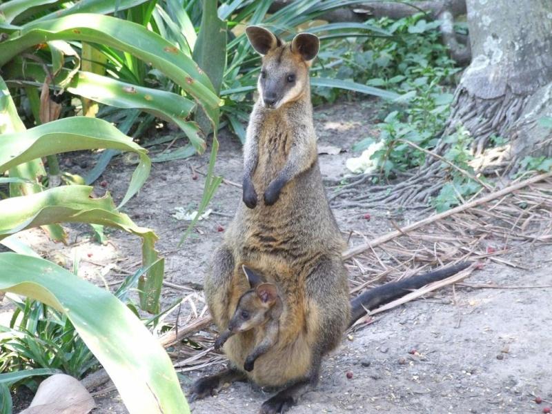 Animaux sauvages Koala_15