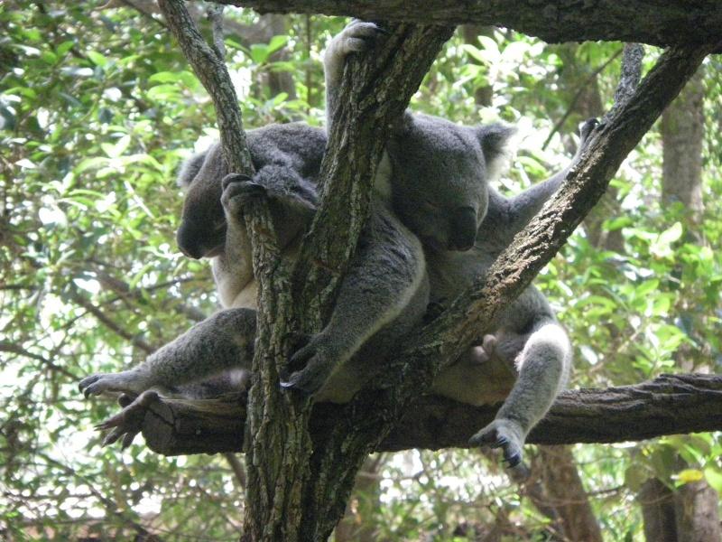 Animaux sauvages Koala_16