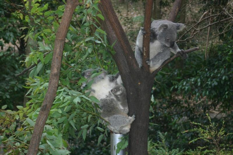 Les animaux sauvages d'ici et d'ailleurs Koalas10