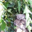 Animaux sauvages Koalas10