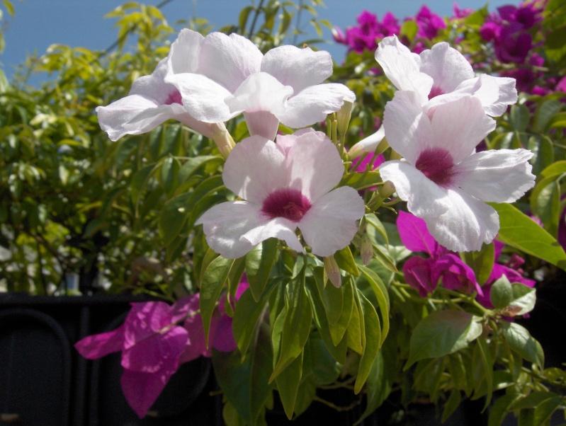 Floraisons du mois de septembre Pandor10