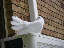 Histoire du pigeon paon Pigeon10