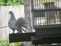 Histoire du pigeon paon Pigeon11