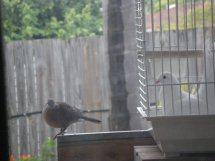 Histoire du pigeon paon Pigeon12
