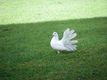Histoire du pigeon paon Pigeon14