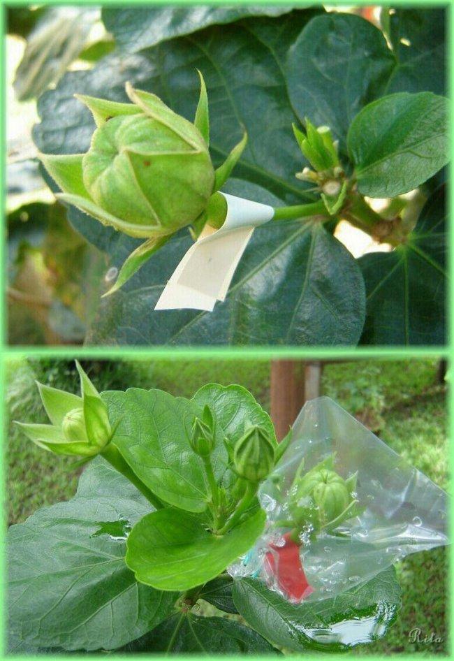 Méthode de semis d'hibiscus Semis_10