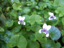 Les violettes africaines / violettes du cap(Saint Paulia). Entretien, espèces, des photos. Violet11