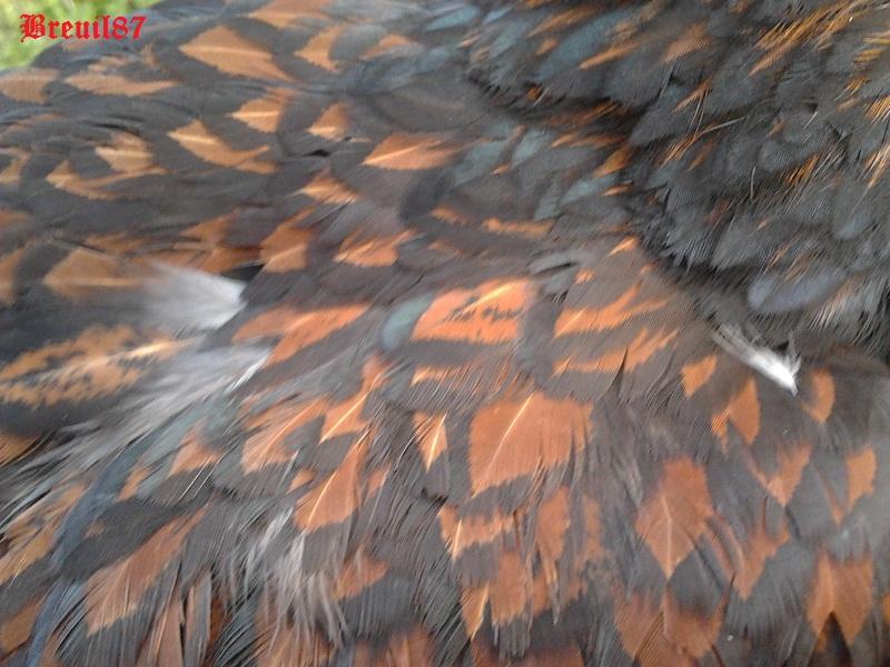 Ma wyandotte dorée liseré noire  2012-012