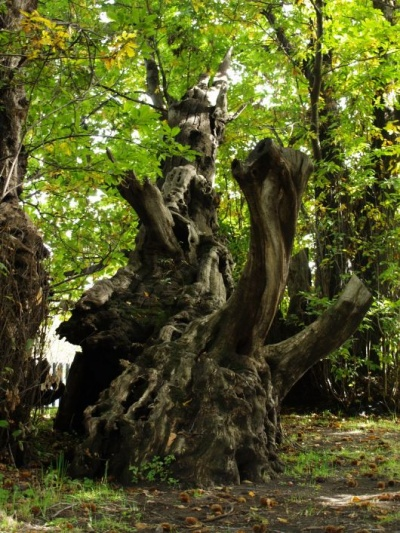 La bellezza silenziosa degli alberi 96864910