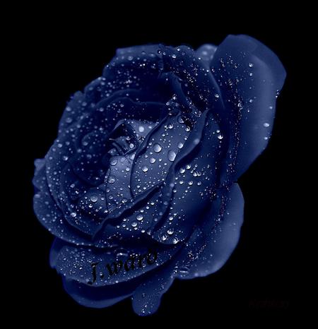 La tite Galerie de Flo alias Enelya - Page 2 Rose_b11