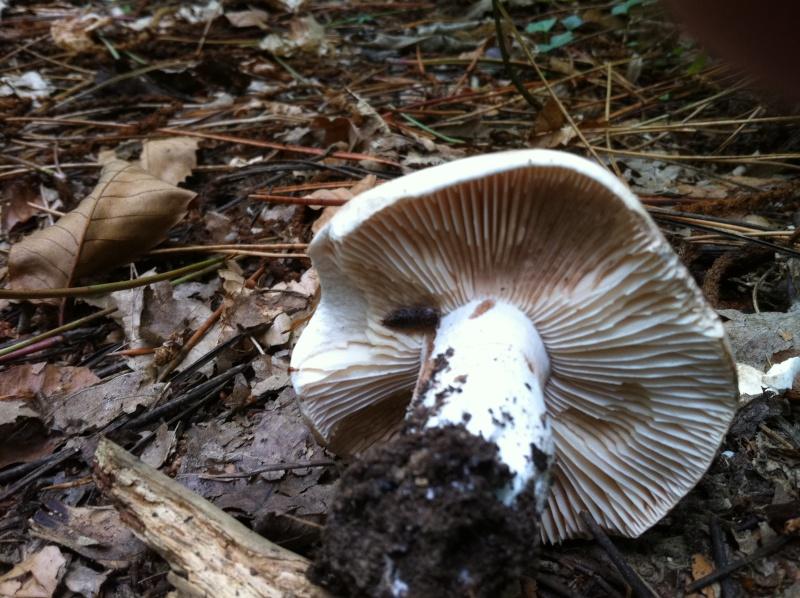A la recherche d'info sur des champignons Img_0511