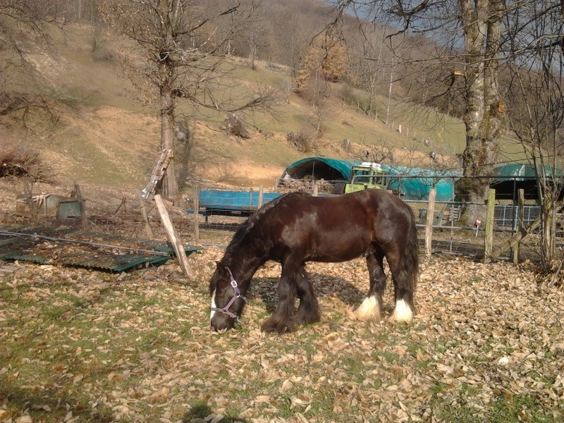 Etalon Gypsy Cob PP  ==>  annonce refaite + NEW photos !! Photo099