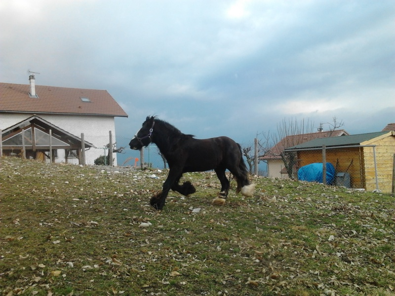 Etalon Gypsy Cob PP  ==>  annonce refaite + NEW photos !! Photo102