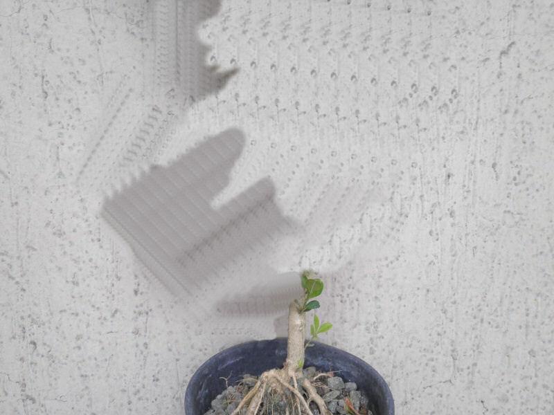 pianta di bosso Bossop10