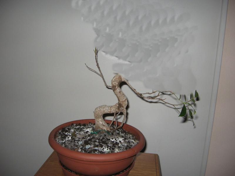 Ficus Retusa....lo abbasso ?? Img_5615