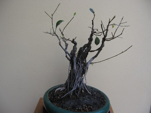 Ficus retusa con radici aeree Img_6110