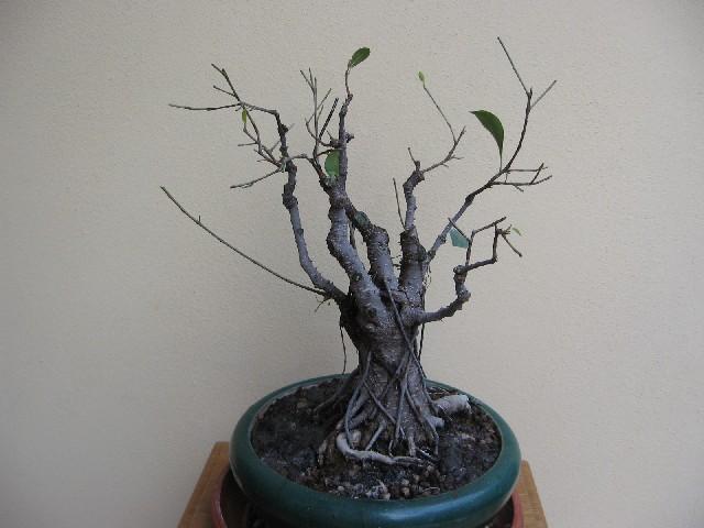Ficus retusa con radici aeree Img_6113