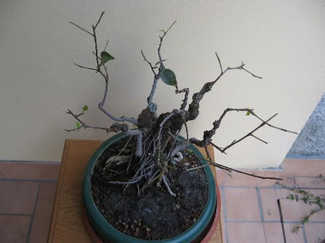 Ficus retusa con radici aeree Img_6115