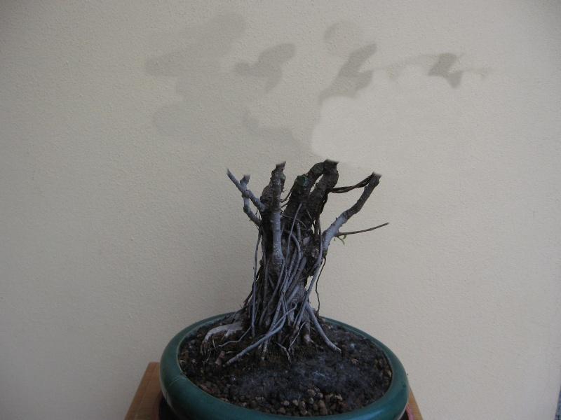 Ficus retusa con radici aeree Img_6121
