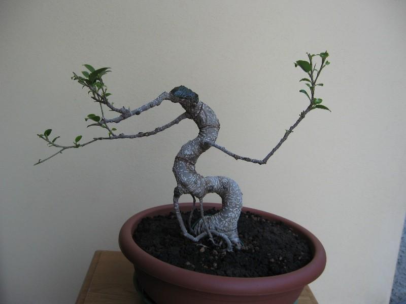 Ficus Retusa....lo abbasso ?? Img_6230