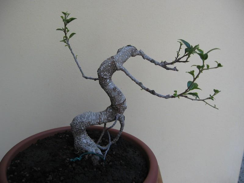 Ficus Retusa....lo abbasso ?? Img_6231