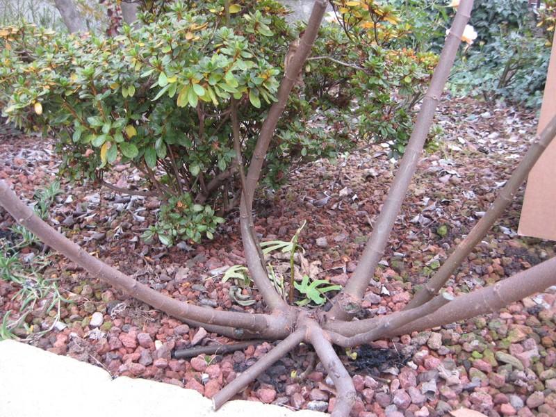 Piccolo Ficus Carica - Pagina 2 Img_8311