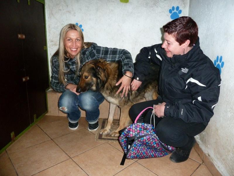 Ringo, mâle, né en 2010, type berger allemand , le chien miracle... ADOPTE ! P1050610