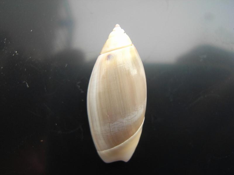 Agaronia griseoalba - (Martens, 1897) 19_pan10