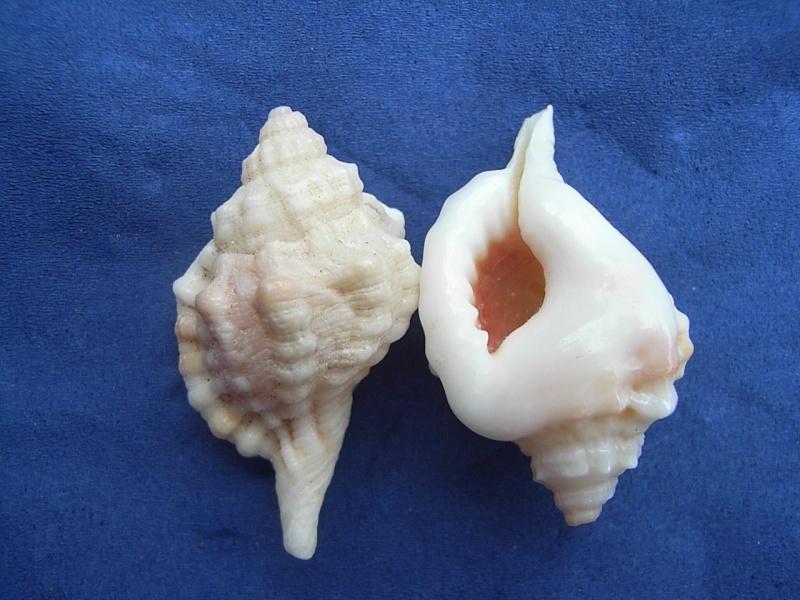 Cymatiidae Gutturnium muricinum - (Röding, 1798) Cymati14