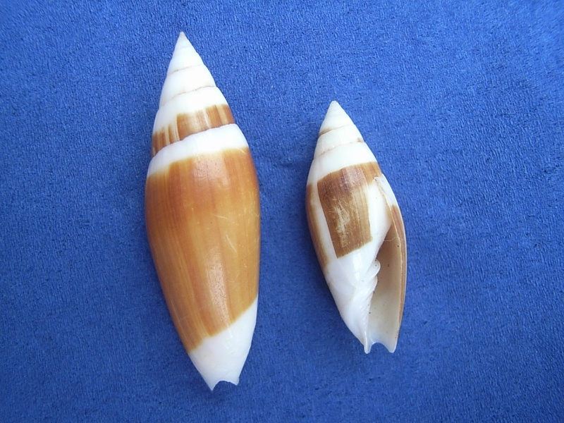 Swainsonia casta - (Gmelin, 1791) Scabri10