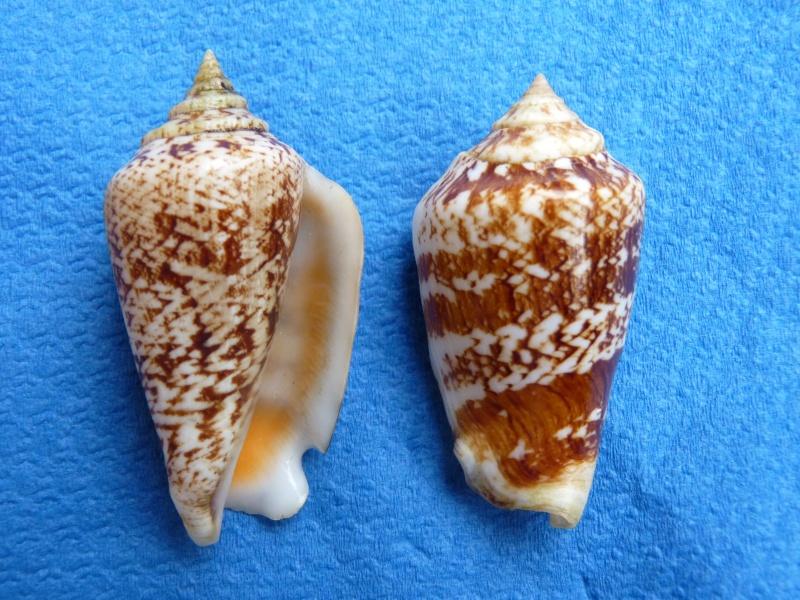 Conomurex persicus - (Swainson, 1821) Stromb10