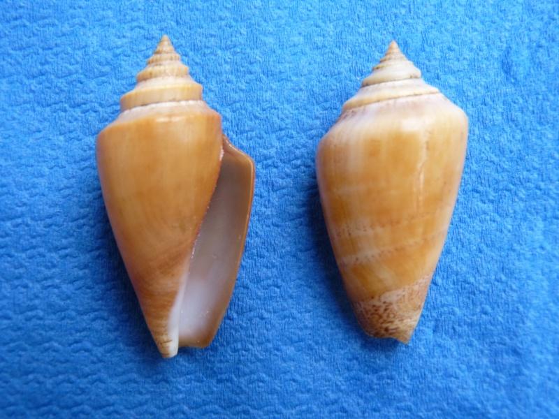 Conomurex persicus - (Swainson, 1821) Stromb11