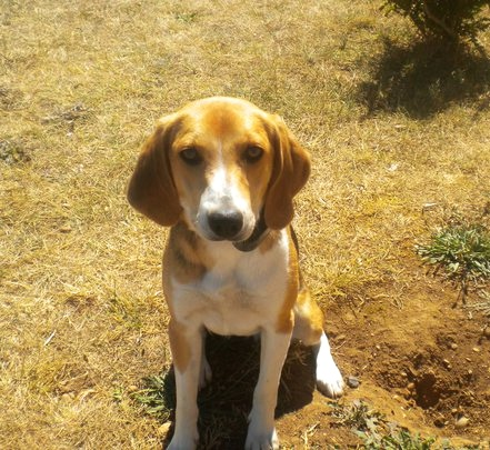 FOXY, beagle harrier femelle, 10 mois (01) 18527311