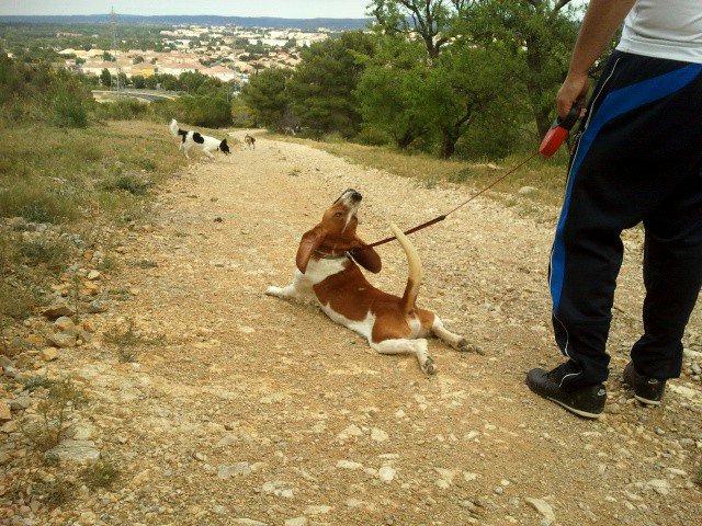 JOHNNY, beagle mâle, 5 ans (en FA dans le 11) - Page 2 24956910