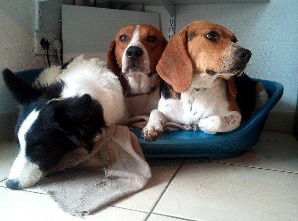 JOHNNY, beagle mâle, 5 ans (en FA dans le 11) - Page 2 26388310