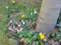 En attendant l'été,  et sa profusion de fleurs..  les bulbes 29_02_13