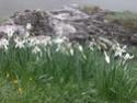 Narcissus romeuxii Dscn0010