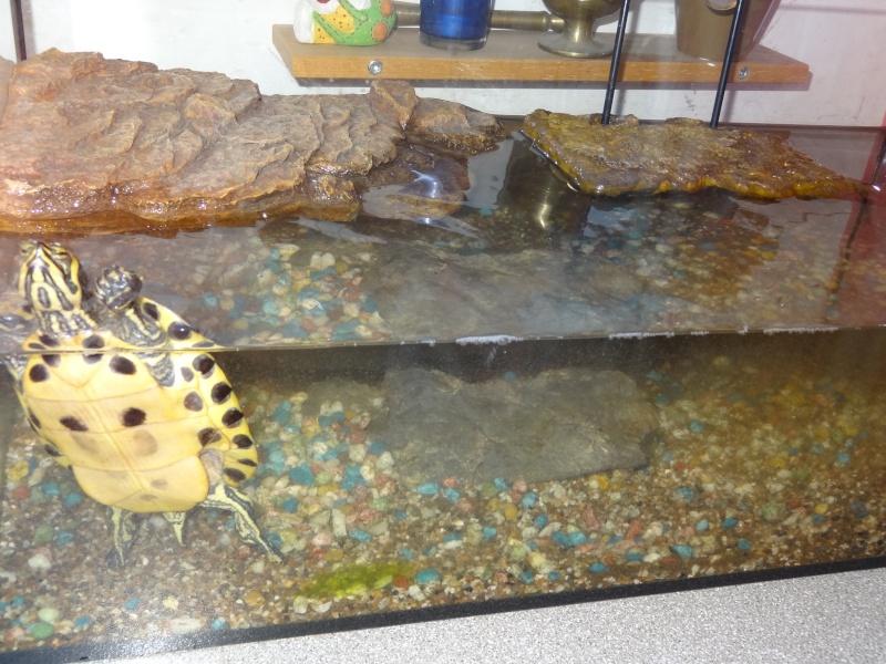 Franklin ma tortue aquatique de 7ans Crusoa16