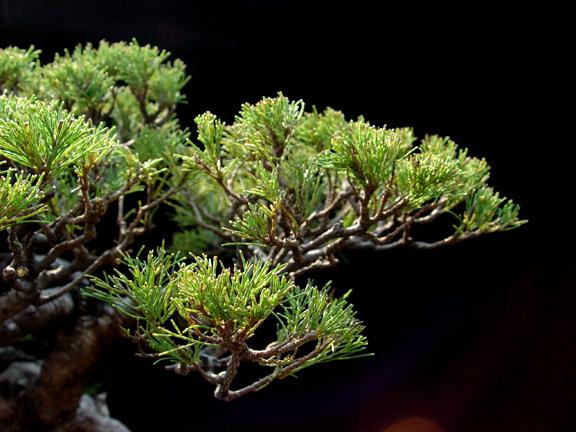 Casuarina Equisetifolia (Cemara Udang or Mu Ma Huang) - Page 4 212