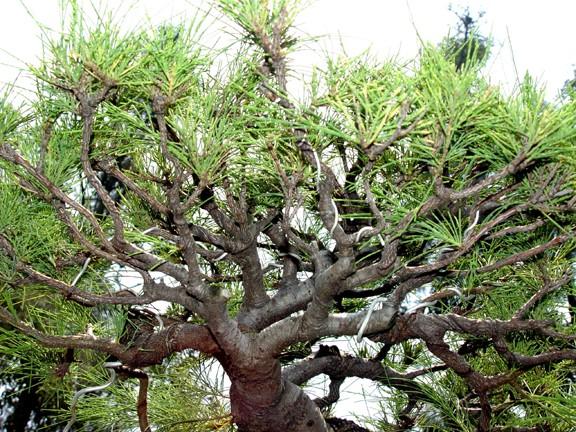 Casuarina Equisetifolia (Cemara Udang or Mu Ma Huang) - Page 4 311