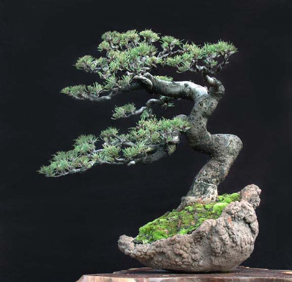 Casuarina Equisetifolia (Cemara Udang or Mu Ma Huang) - Page 5 Cas10
