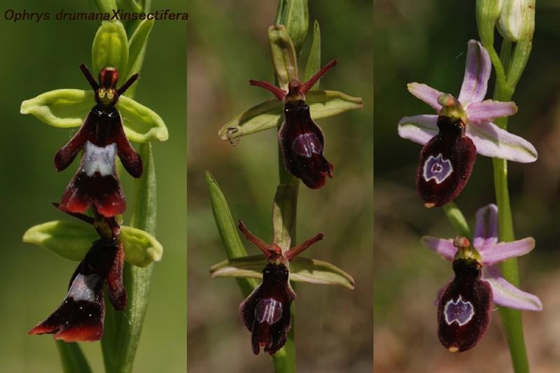 Ophrys bertolonii saratoi ( O. drumana ) x insectifera  Ad_12710
