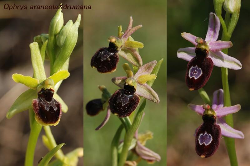 Ophrys bertolonii saratoi ( drumana ) x litigiosa (araneola) Ad_26210