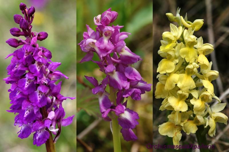 Orchis mascula x pallens (Orchis x loreziana BRÜGGER 1880) Ad_33410