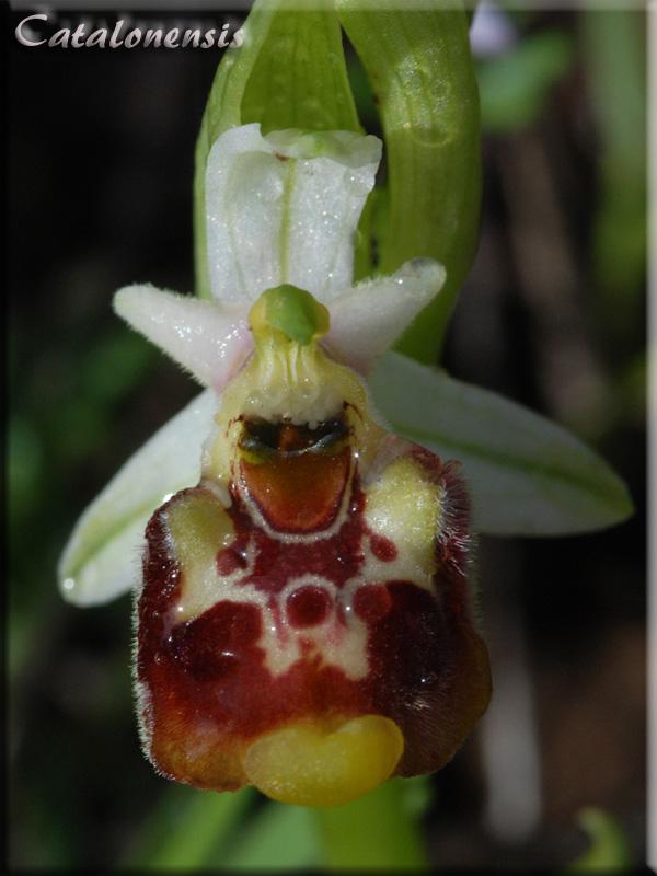 Orchidées de Sardaigne, avril 2008 Ann_2p10
