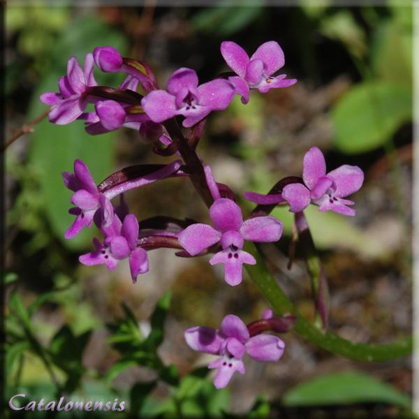 Orchidées de Sardaigne, avril 2008 Bran_110